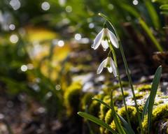 Snowdrops Magic (FocusPocus Photography) Tags: schneeglöckchen snowdrops galanthus blume flower flora pflanze plant sonnenlicht sunshine sonnig sunny