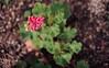 ILCE-7M2-09951-20180116-1240 // Vivitar MC Close Focus Wide Angle 28mm 1:2 (Otattemita) Tags: 28mmf20 florafauna vivitar vivitarkomine vivitarmcclosefocuswideangle28mmf20 fauna flora flower nature plant wildlife vivitarmcclosefocuswideangle28mm12 sony sonyilce7m2 ilce7m2 28mm cnaturalbnatural ota