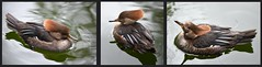 female Hooded merganser duck:  London (Loco Steve) Tags: lophodytescucullatus female duck hoodedmerganser stjamesspark london 2018 triptych