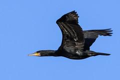 cormorant (Paul Wrights Reserved) Tags: cormerant bird birding birds birdphotography birdwatching birdinflight beautiful inflight flying wings wingtips graceful waterfowl nature naturephotography