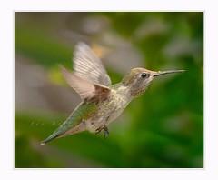 Flying machine (Krasne oci) Tags: hummingbird birdinflight bird smallbirds nature wildbird wildlife photoart evabartos