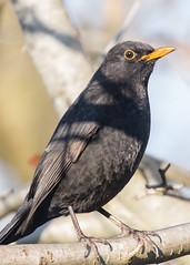 Blackbird ( Turdus merula ) (DaveGray) Tags: blackbird turdusmerula birds canoneos70d garden outs outside outdoor tree