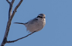 Northern Shrike (Laura Erickson) Tags: saxzimbog stlouiscounty northernshrike laniidae birds passeriformes species places minnesota laniusexcubitor