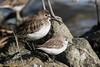 Dunlin and Western Sandpiper (lhc005) Tags: bird dunlin westernsandpiper
