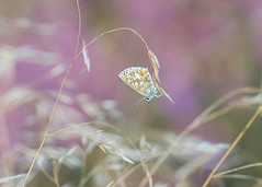 pretty little blue (Emma Varley) Tags: butterfly commonblue grass heather purple orange black white spots summer august