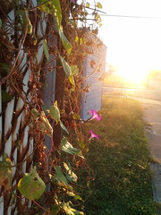 09-23-17 Dayton 02 sun, morning glories (Chicagoan in Ohio) Tags: dayton morningglories spiderwebs