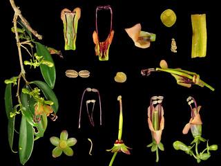 Gesneriaceae Aeschynanthus acuminatus