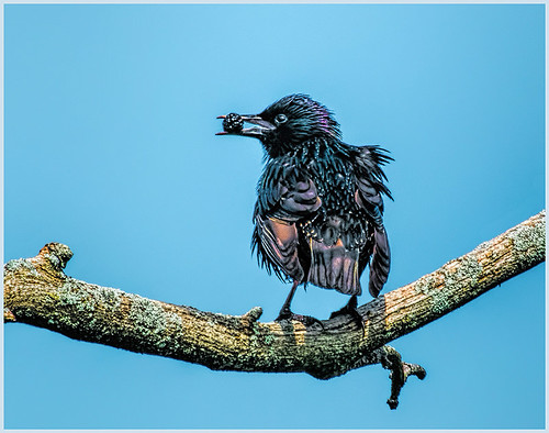 European Starling with Berry by Marica Nye - Award Class A Prints - January 2018