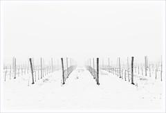Franciacorta sotto zero (Outlaw Pete 65) Tags: paesaggi landscapes cielo sky vigneto vineyard pali poles neve snow inverno winter freddo cold biancoenero blackandwhite nikond600 sigma35mm cellatica lombardia italia