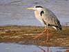 Garza real (Ardea cinerea) (43) (eb3alfmiguel) Tags: aves zancudas ciconiiformes ardeidae garza real ardea cinerea