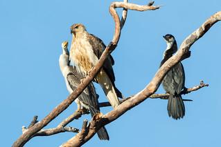 Whistling Kite (Haliastur sphenurus), Australasian Darter (Anhinga novaehollandiae), Little Pied Cormorant (Microcarbo melanoleucos)