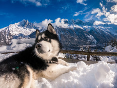 Got any cookies? (Wolfhowl) Tags: 2018 france fun winter landscape montblanc cute chamonixmontblanc kawaii mountains alpinemountains february montblancmassif франція snow clouds frenchalps chamonix denzel alaskanmalamute chaletlefloria puppy travel lefloria dog highfive шамоні valley chamonixvalley europe alps malamute