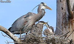 """I have one nerve left and you're both getting on it!"" (Shannon Rose O'Shea) Tags: shannonroseoshea shannonosheawildlifephotography shannonoshea shannon greatblueheron heron greatblueherons herons bird birds beak beaks feathers wings blue bluesky tree nest branch yelloweye headfeathers twigs nature wildlife waterfowl art photo photography camera wild wildlifephotography canon canoneos80d canon80d eos80d 80d canon100400mm14556lisiiusm wwwflickrcomphotosshannonroseoshea flickr circlebbarreserve lakeland florida fauna ardeaherodias juveniles babies motherandbabies outdoors outdoor"
