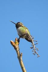 Anna's Hummingbird (JSB PHOTOGRAPHS) Tags: dscn1441 hummingbird deltaponds eugeneoregon p900 nikon coolpix annas