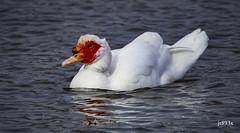 Muscovy (jt893x) Tags: 150600mm bird cairinamoschata d500 duck jt893x muscovyduck nikon nikond500 sigma sigma150600mmf563dgoshsms alittlebeauty coth thesunshinegroup sunrays5 coth5