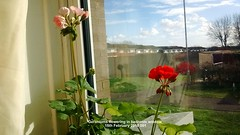 Geraniums flowering in bedroom window 15th February 2018 001 (D@viD_2.011) Tags: geraniums flowering bedroom window 15th february 2018