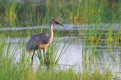 Sun in the Eye (imageClear) Tags: sun glint eye crane sandhillcrane nature wildlife marsh horiconmarsh wisconsin aperture nikon d500 sigma sigma500mmf4 imageclear flickr photostream feeding