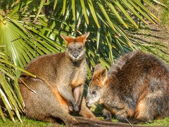 Swamp Wallabies (sander_sloots) Tags: wallabies swamp moeraswallaby wallaby rotterdam zoo diergaarde blijdorp sun palmtree palmboom