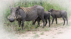 2018 01 31_Warthog-2 (Jonnersace) Tags: africa warthog phacochoerusafricanus hoglet tusks vlakvark hair pumba trotters krugernationalpark southafrica wildwingssafaris