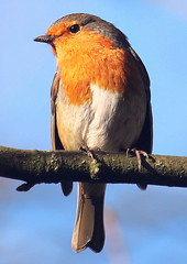Robin (Blackpool Nature) Tags: birds
