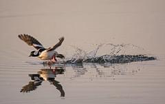 Bufflehead male splashy launch (Dana_55) Tags: bufflehead divingduck