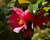 Time for Tea Flowers (northdevonfocus) Tags: flowers floraandfauna trees shrubs camellia pink