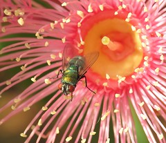 Pollinating insects... (Anni - with camera - off and on) Tags: flies eucalypt nectar pollen iridescence