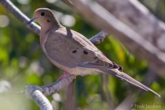 Mourning Dove (Zenaida macroura) (Frode Jacobsen) Tags: mourningdove zenaidamacroura bird florida frodejacobsen canoneos7dmarkii canonef30040lisusm