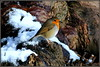 Little Robin Redbreast (* RICHARD M (Over 7 MILLION VIEWS)) Tags: robin robinredbreast europeanrobin erithacusrubecula erithacus birds ornithology wildlife nature snow february winter wintertime treebark featheredfriends heskethpark southport sefton merseyside englandsnationalbird