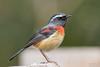 栗背林鴝-3 (Ah-TaiTai) Tags: 台灣 taiwan 南投 塔塔加 自然 生態 野生 動物 鳥 飛羽 羽毛 靜態 batural wild animal bird