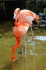 Flamingo Love DSC_0193_edited-1 (John Dreyer) Tags: flamingos mating birding nikon nikond5100 copyright2018johnjdreyer photocreditjohnjdreyer