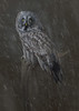 Great Grey Owl (ToriAndrewsPhotography) Tags: great grey owl snow art photography andrews tori