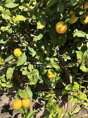fullsizeoutput_80df (lnewman333) Tags: highlandpark losangeles ca usa nela northeastlosangeles socal southerncalifornia fruit citrus lemon