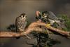 Wanderfalken Paar (Peregrine falcon) (tzim76) Tags: falco peregrinus peregrine falcon greif greifvogel falke paar ast vorarlberg wildlife nature outdoor