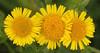 Heelblaadjes - Pulicaria dysenterica -  Common Fleabane (merijnloeve) Tags: heelblaadjes pulicaria dysenterica common fleabane bloem flower flowers biesbosch macro macrophotography brabantse noordwaard polder hardenhoek nb werkendam gemeente algemeen