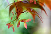 Acer (Carrie Williams_13) Tags: acer tree garden bokeh nikond3100 nikon sigma red leaves