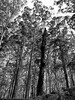 alive and dead (deziluzija) Tags: canopy deadtrees forest karritrees trees