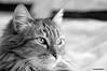 Schizzo (RoLiXiA) Tags: sardegna sardinia sardaigne cerdeña gattoeuropeo gatto gatti schizzo felino felixcatus sigma105 nikond90