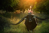 country girl riding buffalo (wichan.sumalee) Tags: listen radio music song asian asia girl woman buffalo country countryside farm farmer animals life lifestyle happy happiness livestock cattle agriculturist cultivator husbandry horticulturist retro beauty cute beautiful hood tradition thailand culture original field tree riding afternoon sunset smile people documentary geographic portrait vintage style