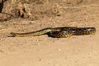 Anaconda Crossing Transpantaneira