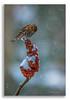 Pine Siskin & Snowy Sumac (Mark Darnell) Tags: cascademi pinesiskinspinuspinus sumac birds botanicals place seasons winter
