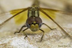 Enjoying with Trithemis Kirbyi (Ricardo Menor) Tags: cabezas ojos trithemiskirbyi odonatos anisópteros libélulas macho dragonflies dragonfly manchasalares airelibre iluminaciónnatural 2015 salinas salinas2015