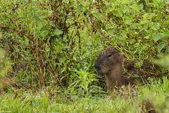 Filhote de capivara (izaletetavares) Tags: filhote filhotedecapivara rain chuva animals animais animal ambiente amazing animalplanet árvore fauna flora free foto flickr fotografiadenatureza selvagem cool canon cute verde vida vidaselvagem brasil nature natureza naturephotography naturephotos new nice nationalgeographic national natural nanatureza mamífero meioambiente livre life liberdade little izaletetavares photo photography preservação photos preserve wildlife wild wildlifephotography world wildife wildlifephoto wildnature