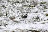 Pied wagtail on the snowy ground (karen leah) Tags: bwlchnantyrarian winter february nature wildlife outdoors cold icy ceredigion snow piedwagtail bird