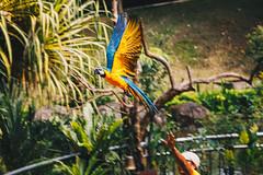 Bird Show in Kuala Lumpur (Juliano Bortolozzi) Tags: kualalumpur wilayahpersekutuankualalumpur malaysia my animals nature macaw show presentation birds