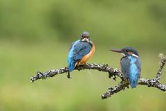 Kingfishers ~ Composite ~ Explored (Margaret S.S) Tags: common kingfisher eurasian kingfishers females composite birds