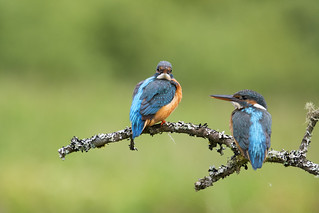 Kingfishers ~ Composite ~ Explored