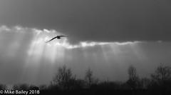 Light Blaze (MWBee) Tags: blackandwhite monochrome bw gull bird sky light clouds shadows trees mwbee nikon d750 walton warrington cheshire rural