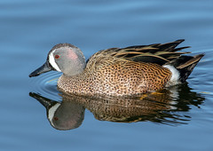 Blue-Winged Teal (Ed Sivon) Tags: america canon nature lasvegas wildlife wild western water southwest desert duck clarkcounty clark vegas bird henderson nevada preserve
