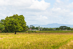 Humid Afternoon (Mark Pilar) Tags: philippines travel bulacan pi d3200 photography various lovely peace homeland nikon life live enjoy edit culture vacation nature paradie afternoon humid hot smile landscape sky horizon mountain breathe rice field grass tree rock clouds sunny